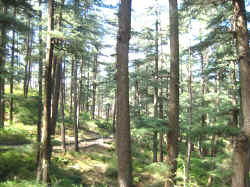 forest area around the golf course in naldehra