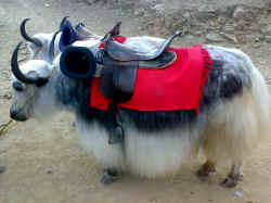 Yak ready to take you for a ride in Kufri